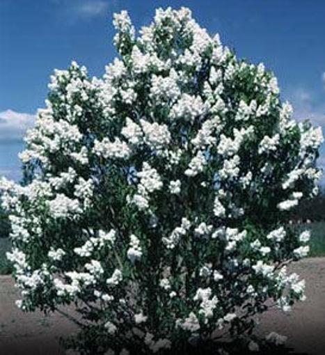 Pekin Lilac bush - Syringa pekinensis