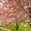 Saucer Magnolia - Magnolia x soulangeana