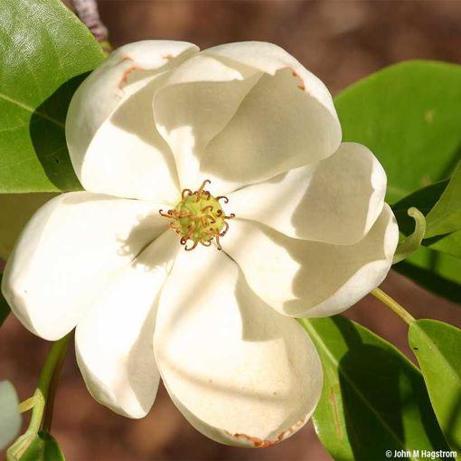 Sweetbay Magnolia shrub - Magnolia virginiana