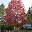 Picture of Red Maple
