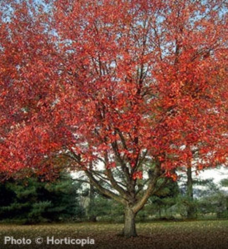 "Red Sunset Maple - Acer rubrum ""Franksred"""