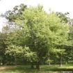 Silver Maple - Acer saccharinum