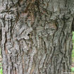 Picture of Silver Maple