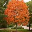 Sugar Maple Trees - Acer saccharum maple tree