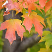 Picture of Sugar Maple