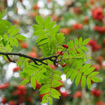 Picture of American Mountainash