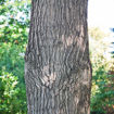 Picture of Northern Red Oak