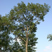 Picture of Scarlet Oak