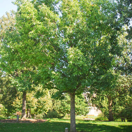 White Oak - Quercus alba