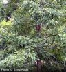Pecan - Carya illinoinensis