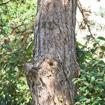 Austrian Pine - Pinus nigra