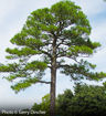 Loblolly Pine evergreen