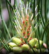 Loblolly Pine - Pinus taeda
