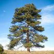 Ponderosa Pine evergreen