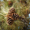 Picture of Ponderosa Pine