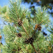 Picture of Scots Pine