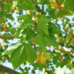 Picture of London Planetree
