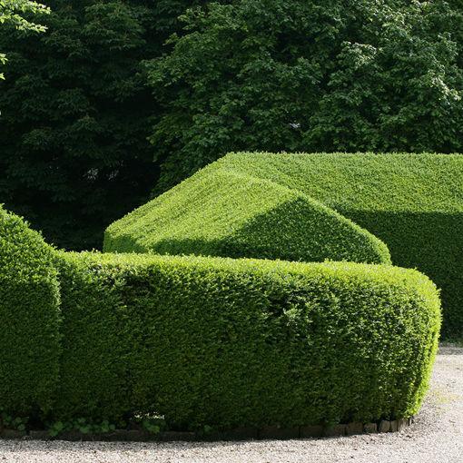 North Privet  shrub- Ligustrum x ibolium
