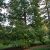 Dawn Redwood - Metasequoia glyptostroboides