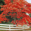 Picture of Sourwood