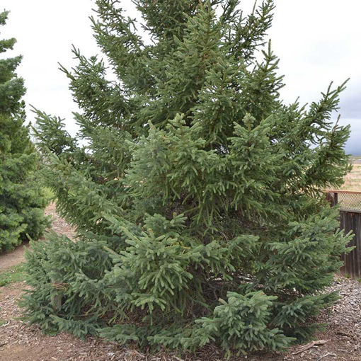 Black Hills Spruce evergreen