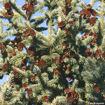 Black Hills Spruce - Picea glauca var. densata