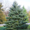 Colorado Blue Spruce - Picea pungens
