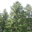Norway Spruce evergreen