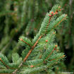 Picture of Norway Spruce