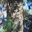 Picture of White Spruce