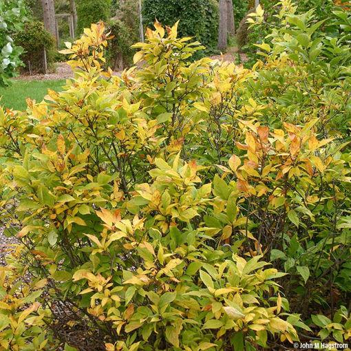 Sweetshrub - Calycanthus floridus
