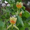 Picture of Tuliptree