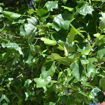 Picture of Tuliptree