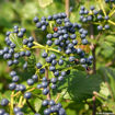 Arrowwood Viburnum bush - Viburnum dentatum