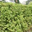 Arrowwood Viburnum - Viburnum dentatum