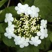 American Cranberrybush Viburnum bush - Viburnum trilobum