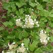 Picture of American Cranberrybush Viburnum