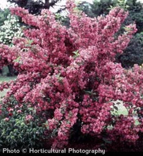 Old Fashioned Weigela shrub- Weigela florida