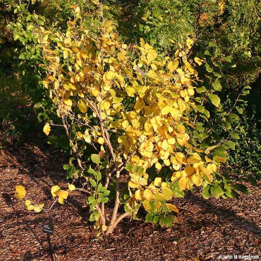 Witchhazel shrub - Hammamelis virginiana