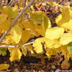 Picture of Witchhazel
