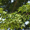 Picture of Japanese Zelkova