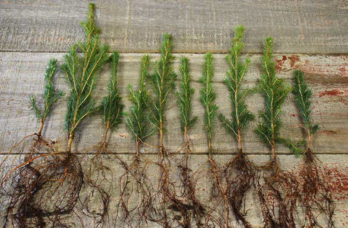 Tree Seedlings in Bulk