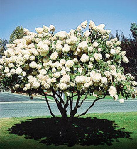 "Pee Gee Hydrangea bush - Hydrangea paniculata ""Grandiflora"""