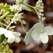 Picture of Pee Gee Hydrangea