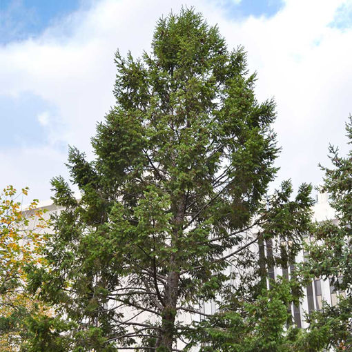 Douglasfir for Windbreaks evergreen