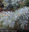 White Fir - Abies concolor