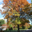 Picture of T & M Greencare Pin Oak