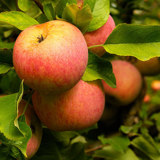 Picture of Fuji Apple