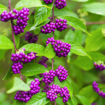Picture of Beautyberry
