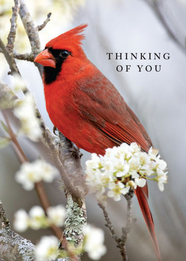 Picture of Thinking of You-Cardinal